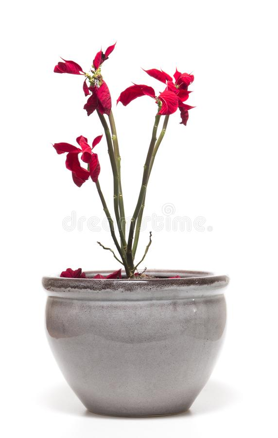 Piękny poinsecja kwiat (euforbii pulcherrima) obrazy stock