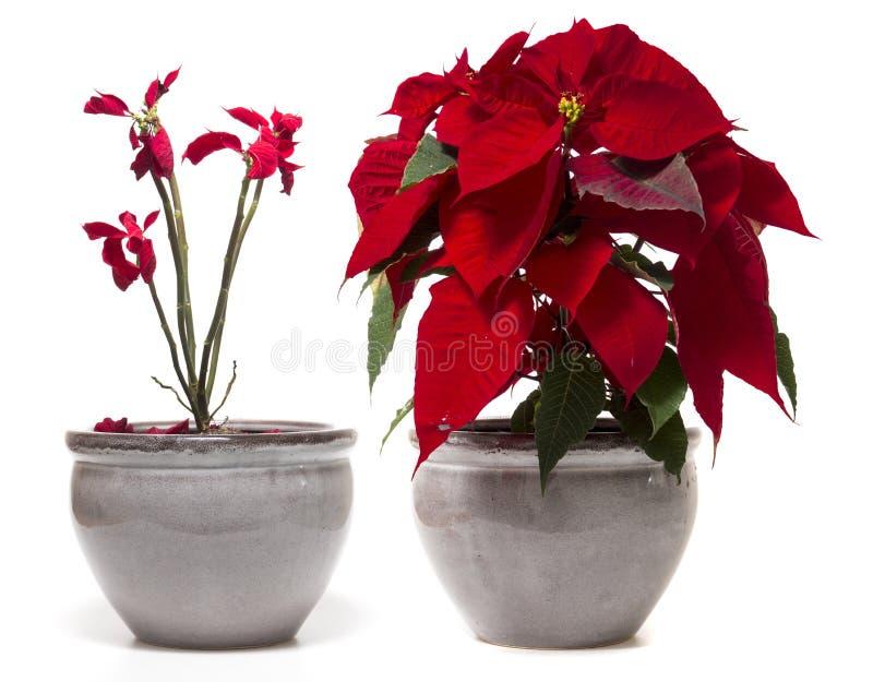 Piękny poinsecja kwiat (euforbii pulcherrima) zdjęcie stock