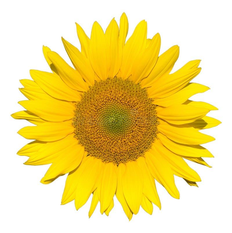 piękny pojedynczy słonecznik obraz stock
