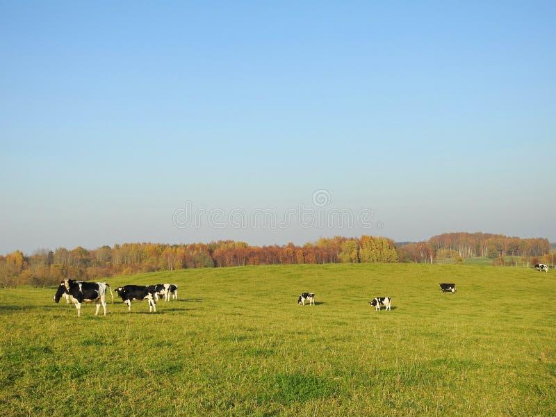 Piękny pole, jesieni drzewa i krowa słuchający, Lithuania obraz stock