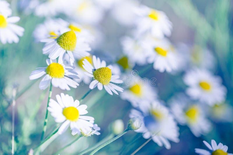 Piękny pole stokrotka kwitnie w wiośnie Zamazana abstrakcjonistyczna lato łąka z jaskrawymi okwitnięciami zdjęcia stock