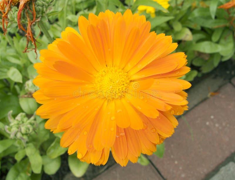 Piękny pomarańcze ogródu kwiatu calendula zakończenie up obraz stock