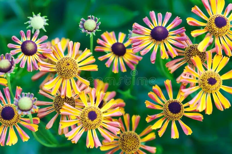 Piękny pomarańczowej czerwieni żółty płatek kwitnie w ogródzie Pole jesieni stokrotek kwiaty zielona tło miękka część zdjęcia stock