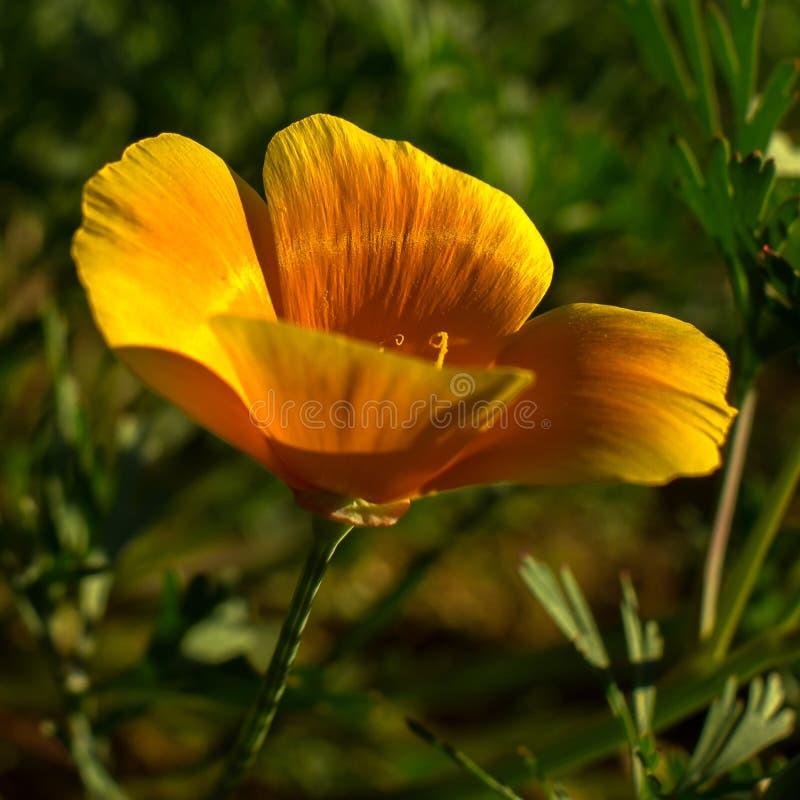 Piękny pomarańczowy California maczka kwiatu kwitnienie w zielonym polu zdjęcia royalty free