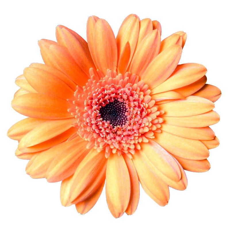Piękny pomarańczowy gerbera stokrotki kwiat odizolowywający na białym tła zbliżeniu obraz stock