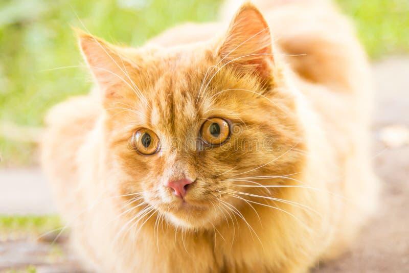Piękny pomarańczowy kot kiciuni portret, oczy patrzeje zbliżenie, makro- obrazy stock