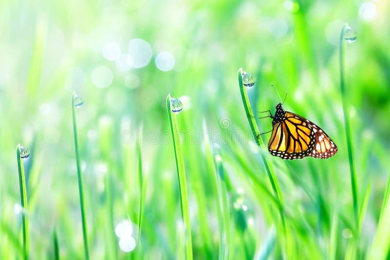 Piękny pomarańczowy motyl na zielonej czułej trawie z rosa kroplami ?wie?y t?a lato fotografia stock