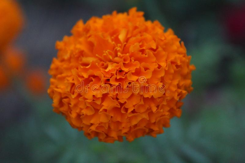 Piękny pomarańczowy nagietka kwiat fotografia royalty free