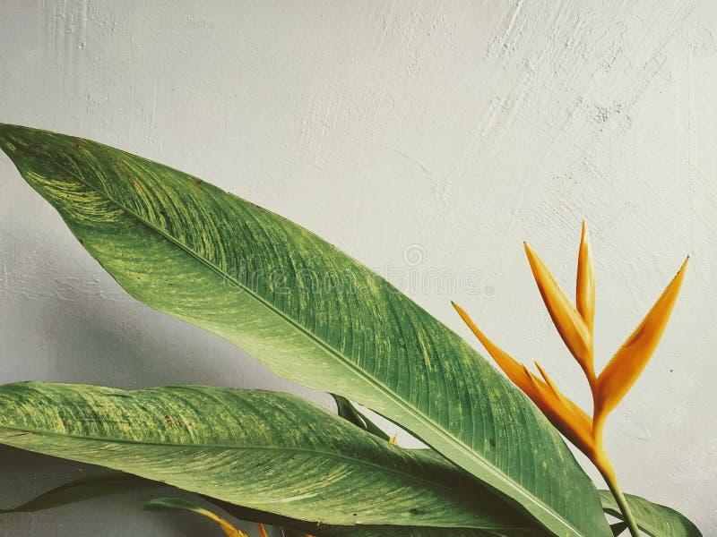 Piękny, pomarańczowy tropikalny kwiat przeciw białej ścianie, fotografia royalty free