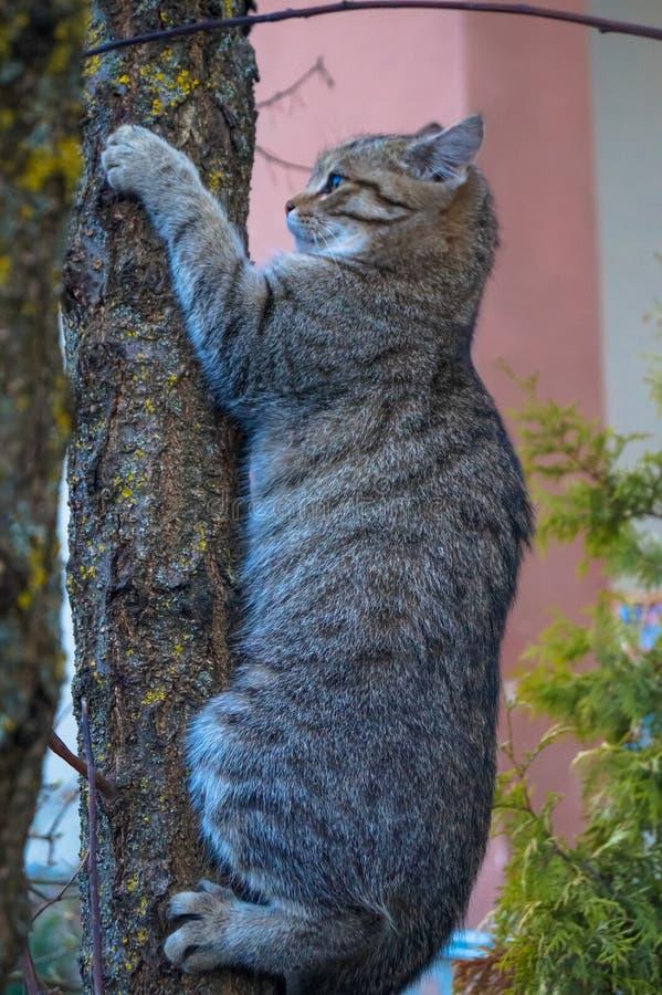 Piękny popielaty kota pięcie na drzewnym bagażniku fotografia royalty free