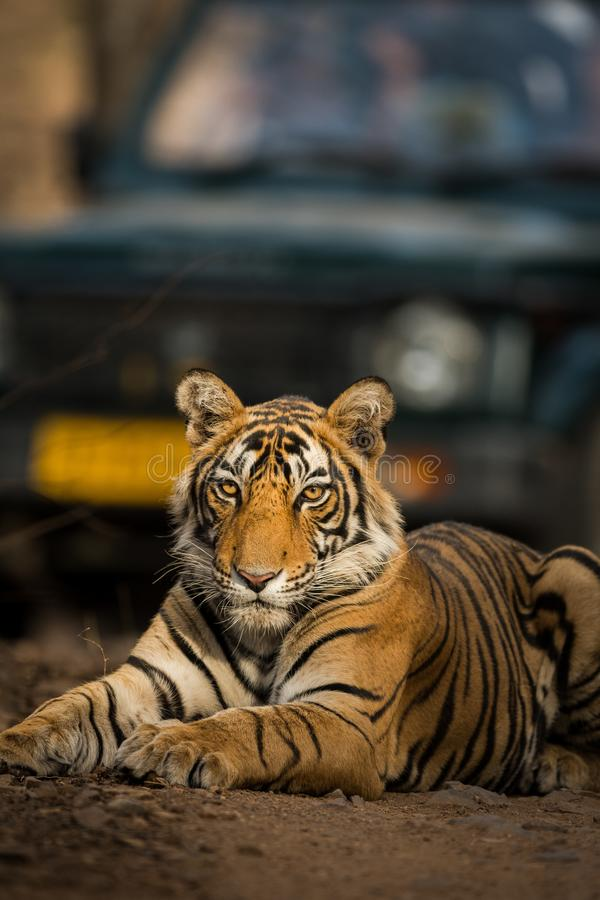 Piękny portret Królewski Bengal tygrysa panthera Tigris, ranthambore tygrysa rezerwa, Rajasthan, ind fotografia stock
