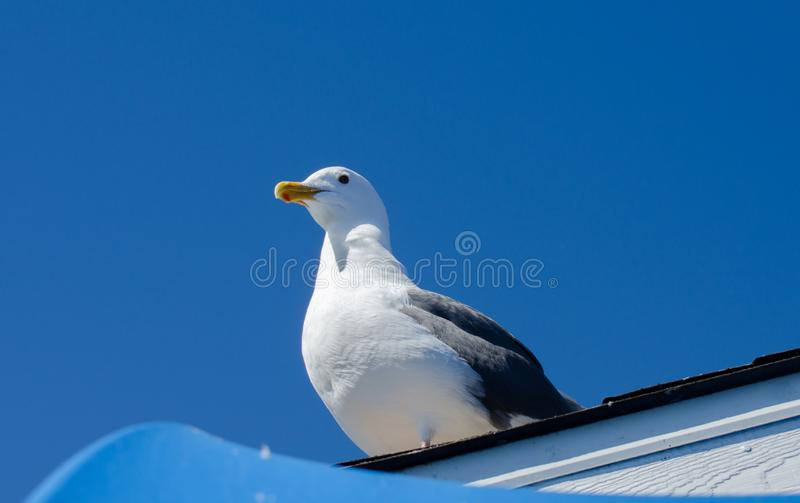 Piękny portret seagull przy portem San Francisco, Kalifornia obraz stock