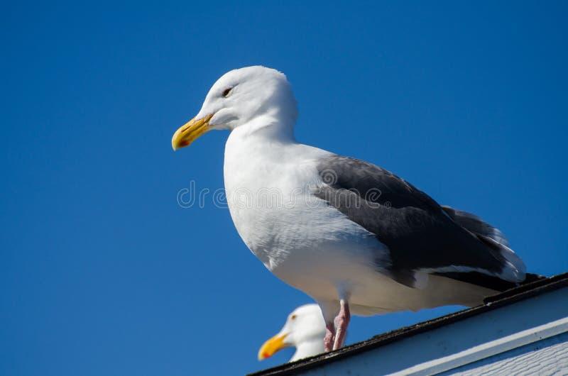 Piękny portret seagull przy portem San Francisco, Kalifornia obrazy royalty free
