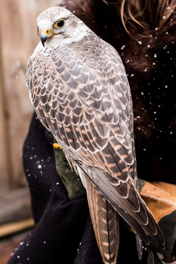Piękny portret sokoła wędrownego jastrząbka obsiadanie na ręce na xmas rynku zdjęcie stock