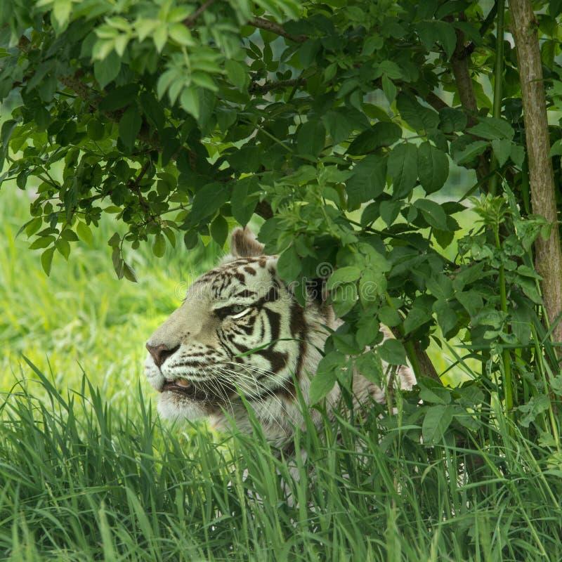 Piękny portreta wizerunek hybrydowy biały tygrysi Panthera Tygrys ja obraz stock