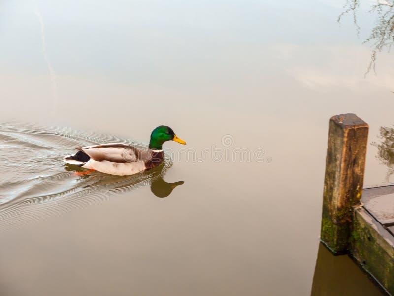 Piękny poruszający męski mallard na popielatym wody powierzchni zakończeniu up obraz royalty free