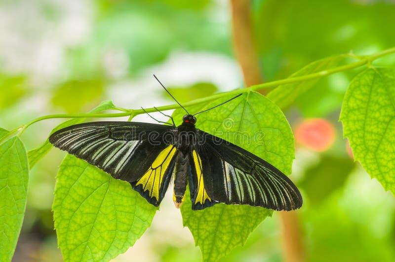 Piękny Pospolity Birdwing motyl obraz stock