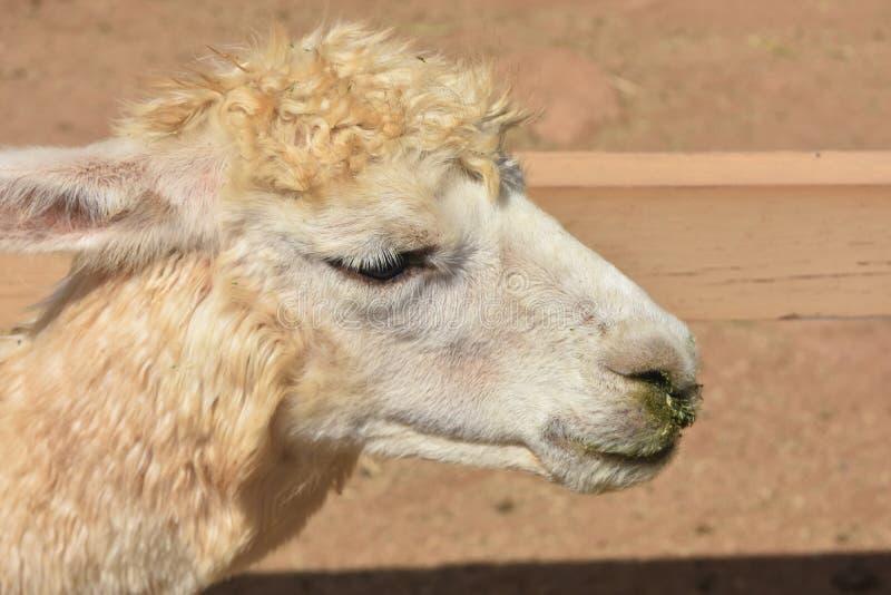Piękny profil Alpagowy roczniak zdjęcie royalty free
