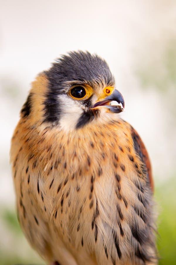 Piękny profil kestrel zdjęcia stock