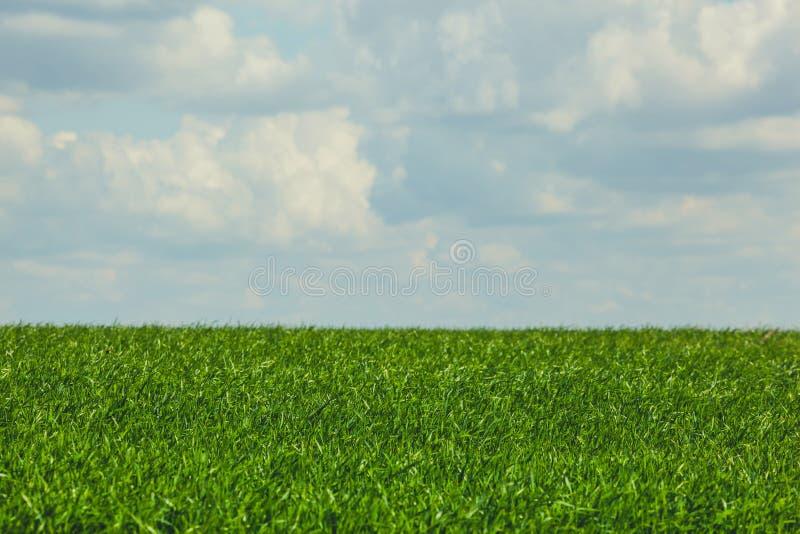 Piękny przeciw, ampuły zieleni pola zimy cerea błękitnemu, chmurnemu niebu, obrazy stock