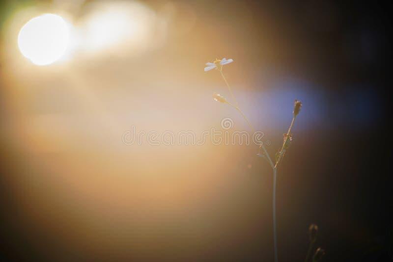 Piękny przerzedże kwiatu Tridax procumbens, Meksykańska stokrotka przy zmierzchu momentem obrazy royalty free