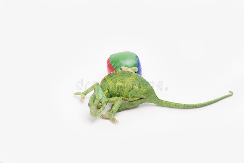 Piękny przesłaniający kameleon w studiu (biały tło) fotografia royalty free