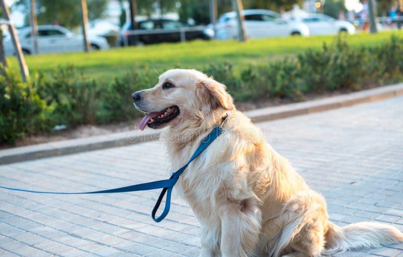 piękny psi złoty aporter zdjęcie royalty free