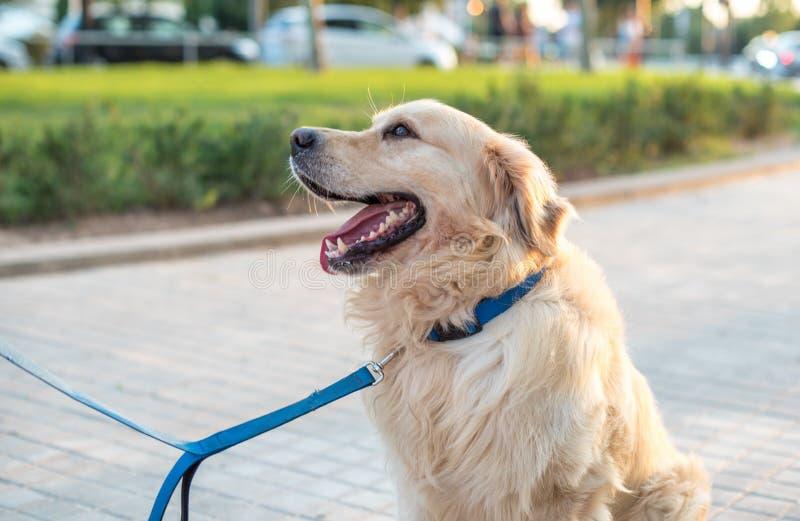 piękny psi złoty aporter fotografia royalty free