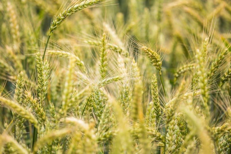 Piękny pszeniczny pole w górę, wkrótce dostawać dojrzały fotografia royalty free