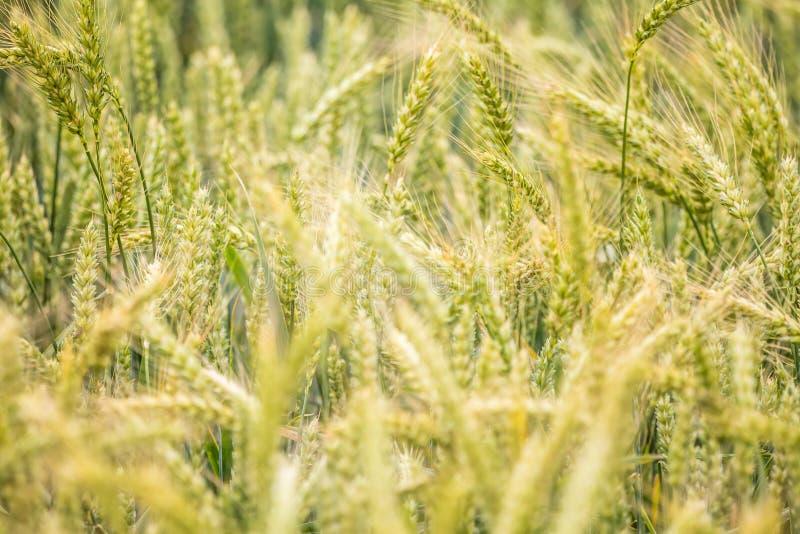 Piękny pszeniczny pole w górę, wkrótce dostawać dojrzały obrazy stock