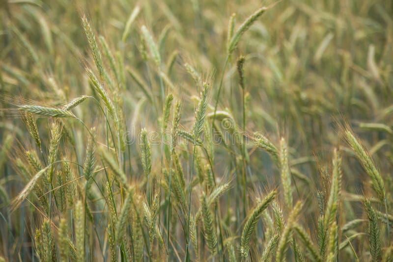 Piękny pszeniczny pole w górę, wkrótce dostawać dojrzały obraz royalty free