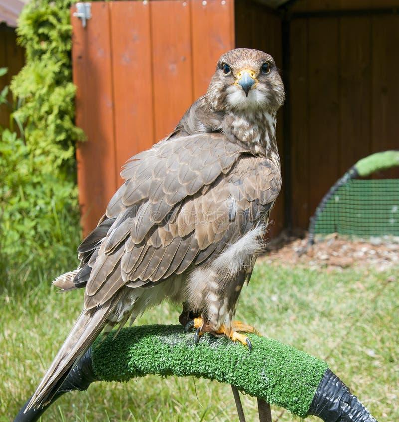 PiÄ™kny ptak ofiary, sokoÅ'a siedzi na trawie i wyglÄ…da,SokoÅ' Altai wiÅ›nia altaicus zdjęcie stock