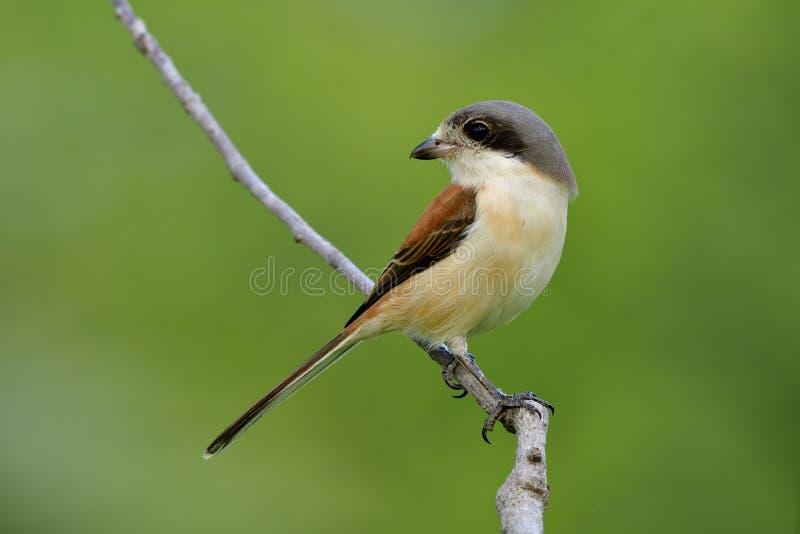 Piękny ptak w naturze z szczegółami jej piórka i tyczenie komponujemy na kiju nad plamy zieleni tłem, Birmańska dzierzba obrazy stock
