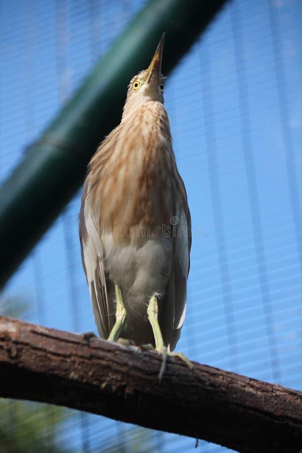 Piękny ptak z brown futerkiem, zdjęcia stock
