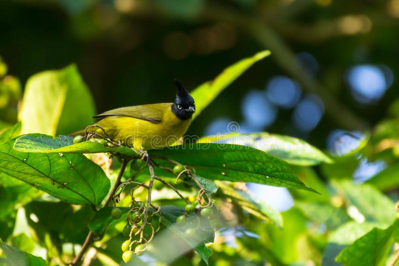 Piękny ptasi Czubaty Bulbul fotografia stock