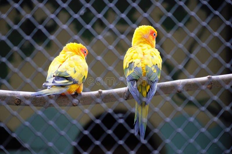 piękny ptasi ilustraci wektoru kolor żółty zdjęcie royalty free