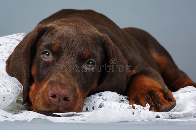 Piękny purebred brązu Doberman szczeniak bardzo smutny, stawia jego głowę a obraz stock
