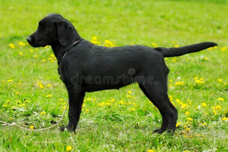 Piękny purebred czerni labradora szczeniak jest w przedstawienie pozyci obraz royalty free