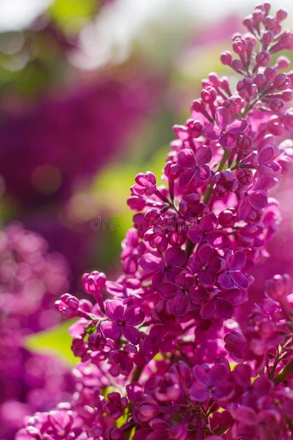 Piękny purpurowy bez kwitnie outdoors obraz stock