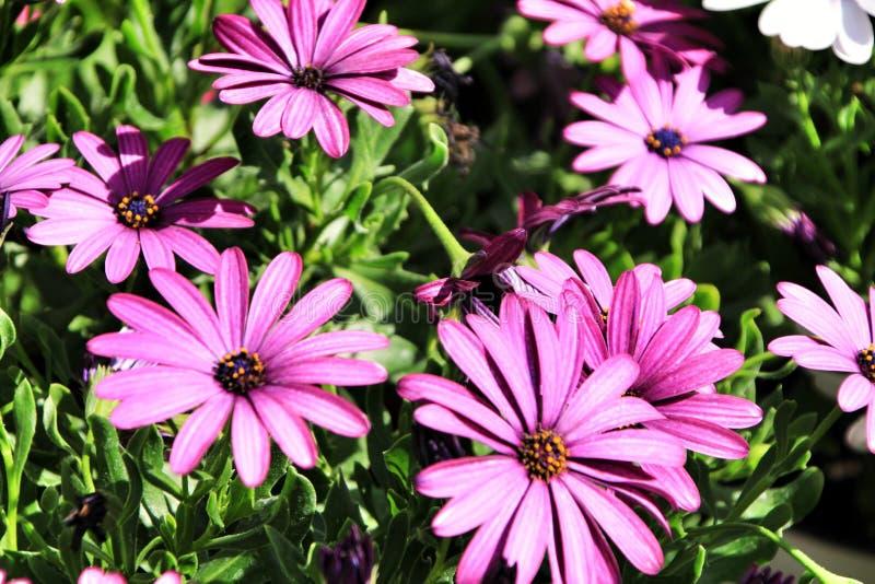 Piękny purpurowy Dimorphoteca kwitnie w ogródzie fotografia royalty free