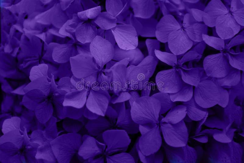 Piękny purpurowy hortensia hortensji kwiat makro- obrazy royalty free