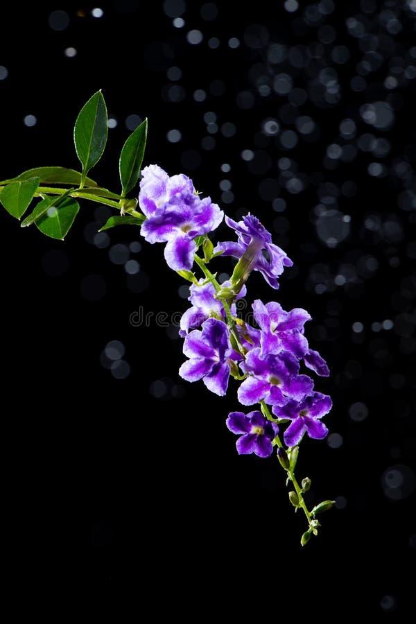Piękny purpurowy kwiat Złota rosy kropla, Gołębia jagoda, niebo obrazy royalty free