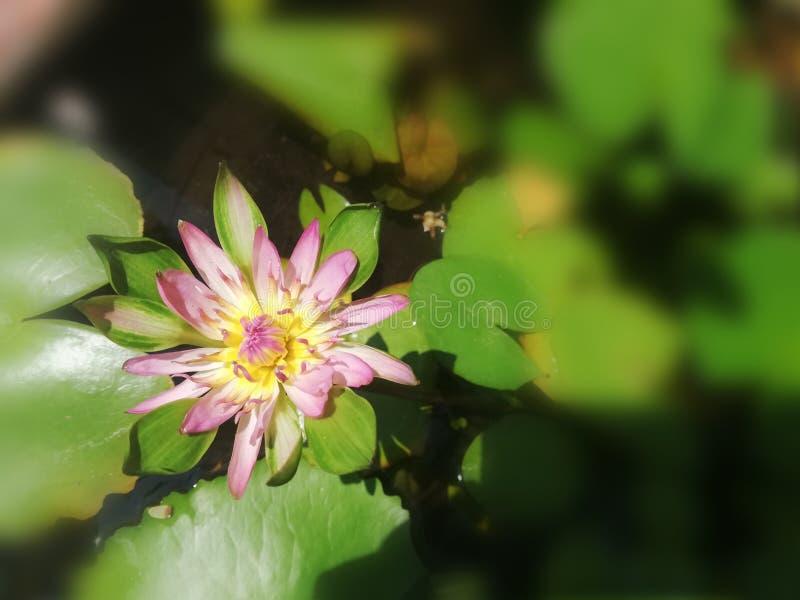Piękny purpurowy lotosowy kwiat z żółtym pollen fotografia stock