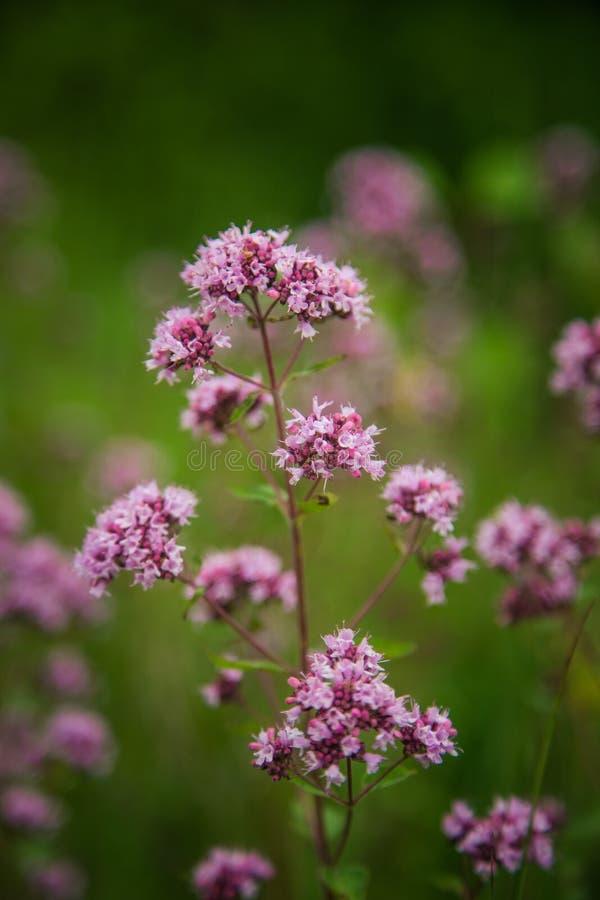 Piękny purpurowy oregano kwitnie kwitnienie w łące obrazy royalty free