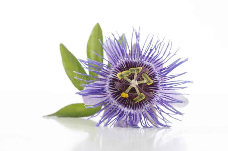 Piękny purpurowy Passiflora na białym tle obraz royalty free
