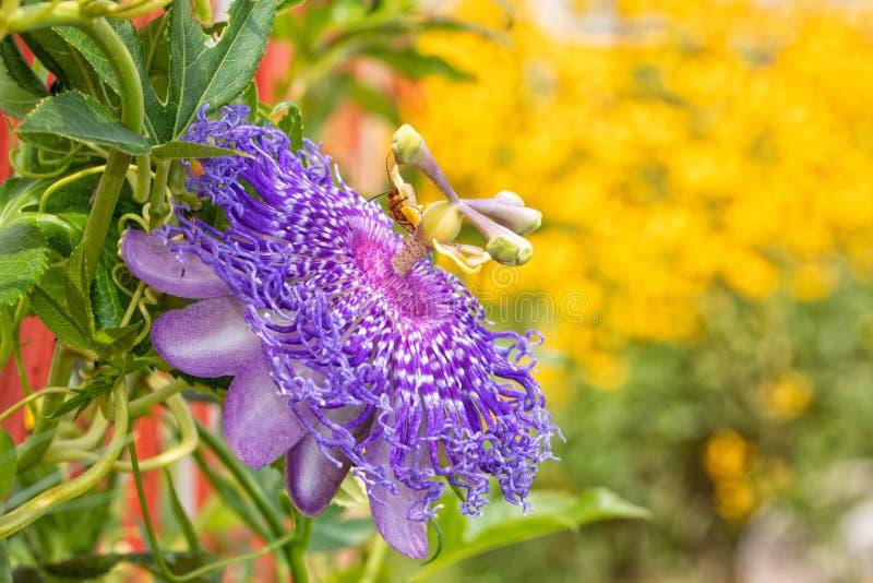 Piękny purpurowy Passionflower kwitnienie w lato pogodnym ogródzie obraz royalty free