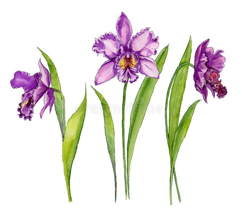 Piękny purpurowy storczykowy Cattleya kwiat na trzonie z zielonymi liśćmi pojedynczy białe tło Set trzy kwiatu ilustracja wektor