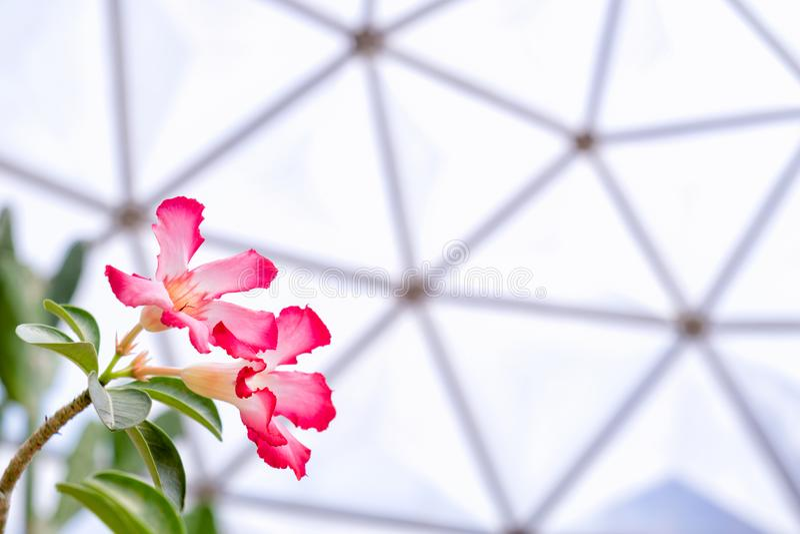 Piękny pustyni róży kwiat lub egzamin próbny azalia kwiaty, Impala leluja obrazy royalty free