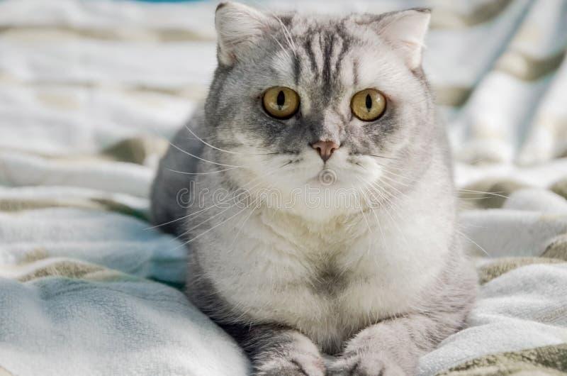 Piękny, puszysty kot na tabby leży na łóżku w jasnym pokoju w pobliżu okna domu Portret zamykający słodkiego kota zaskoczonego obrazy royalty free