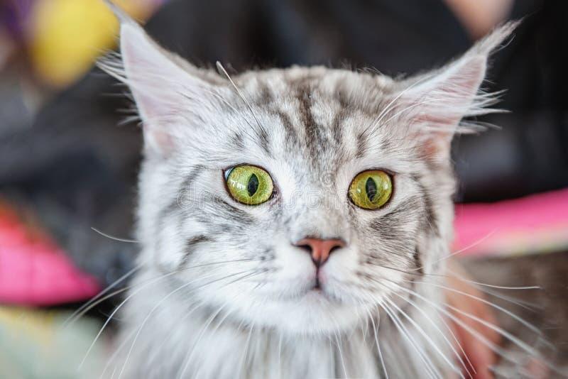Piękny puszysty szary pedigreed kot zaskakują Zdziwiony zwierzę zdjęcia stock
